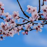 Frühling an der Weinstraße thumbnail