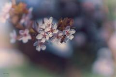 flower.bee.day (_andrea-) Tags: sonya7m2 carlzeiss objektiv outdoor mount planart1450 bee blossoms bloomy blütenrausch blüten biene kirschblüten bokeh bokehshots bokehjunkie bokehs beautifulshot