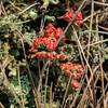 Rode Heidelucifer (doevos) Tags: cladoniafloerkeana coachgroep flechte hogeveluwe korstmos lichen npdhv nationaalparkdehogeveluwe rodeheidelucifer veluwe champignonslichénisants