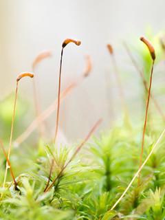 Sporophytes de Bryophyte. Un excellent sujet de macro, tout en élégance et délicatesse...