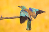 European Roller  Coracias garrulus (ian_tilden) Tags: coraciasgarrulus roller serbia breedingseason colourful wow closeup wild ornithology bird