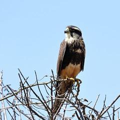Aplomado Falcon (Kamal50) Tags: avifauna trinidad tobago nature wildlife caribbean birding magic moment raptor blue beauty