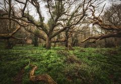 Spooky Borthwood Copse, Isle of Wight! (Elm Studio) Tags: copyright copyrighted jeffmorgan elmstudio jeffelmstudiocom wwwelmstudiocom 4407542933700 isleofwight uk 2018 appicoftheweek morgan thenationaltrust haunted spookey borthwoodcopse alverstone england gb expermentalcolour mft mirrorless nikcolorefexpro panasonic wideangle bluebells path morning trees woods forest microfourthirdsgallery gbr