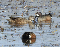 Blue winged teal ducks (carpingdiem) Tags: bluewingedteal ducks birds indianapolis spring