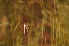 Art of Grass (Red Nomad OZ) Tags: grampians victoria australia grampiansnationalpark mackenziefalls