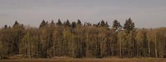 Birkenwaldrand (towytopper) Tags: wald waldrand birken bäume feld natur frühling holz baum himmel landschaft gras tannen panorama frühjahr