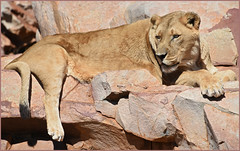 Pride (Vide Cor Meum Images) Tags: mac010665yahoocouk markcoleman markandrewcoleman videcormeumimages vide cor meum south africa aquila game reserve lioness lion pride wildlife karoo travel holiday