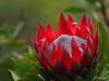 A Kula Crown - Kula, Maui (Barra1man (Busy in the Garden)) Tags: akulacrown redcrownprotea crownprotea protea crown flower tropical tropicalflower red green garden upcountry kula maui hawaii unitedstates olympus olympusem1 iso800 lens300mm f561800