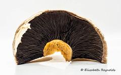 Day 105. (lizzieisdizzy) Tags: table tabletop mushroom fungi fungus flatmushroom fleshy sporebearing gills stalk edible fieldmushroom stipe pileas portabello