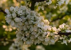 Apfelblüten (achim-51) Tags: blüte blüten baum makro panasonic lumix dmcg5 natur outdoor