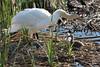 Class time! (Gunn Shots.) Tags: muteswan swan cygnet imprinting lasgallinas