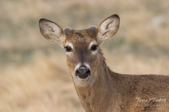 White-tailed Deer buck with nubs