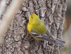 Pine Warbler at Garret Mountain (Tombo Pixels) Tags: garretmountain180248 pine warbler bird garretmountain audubonwalk audubon nj newjersey twb1 wilsonave