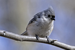 Forest Park: Tufted Titmouse (donna lynn) Tags: 2018 birds birding queens nature wildlife april migration outdoors forestpark waterhole tuftedtitmouse baeolophusbicolor passeriformes familyparidae