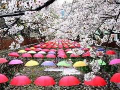 Umbrellas (MelindaChan ^..^) Tags: jinhae skorea 鎮海 umbrellas reflection petal fallen cherry blossom 櫻花 plant bloom 櫻 花 spring flower colors chanmelmel mel melinda melindachan travel