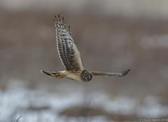 Norther Harrier (f) (Chuck Hantis) Tags: