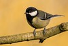 Great Tit (Pastel Frames Photography) Tags: greattit bird birds birdphotography photography canon80d canon100400mmii ireland louth birding bokeh