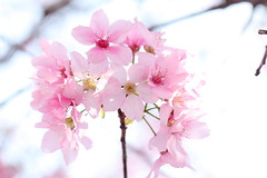 IMG_4021M Pink (陳炯垣) Tags: flower blooming blossom springtime pink cherry さくら