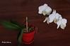 L'Orchidée, agréable compagne de nos hivers... / Orchids: Our friendly winter flower (Pentax_clic) Tags: imgp3960 pentax kr orchidée mars 2018 robert warren vaudreuil quebec fleur