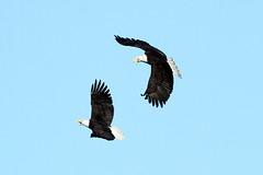 Haliaeetus leucocephalus (Bald Eagle) - WA, USA (Nick Dean1) Tags: haliaeetusleucocephalus baldeagle eagle falconiformes raptor birdperfect birdwatcher thewonderfulworldofbirds