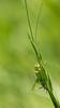 Nuances d'été (Pauline Moinereau) Tags: grandesauterelleverte greatgreenbushcricket insect insecte orthoptera sauterelle tettigoniaviridissima tettigoniidae bushcricket katydid orthoptère