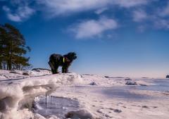 King of the hill (Joni Salama) Tags: lumi koira eläimet luonto talvi kallahti vesi helsinki suomi vuosaari uusimaa finland fi animal dog winter snow