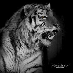 Dragan (Through-my-eyes.) Tags: dartmoorzoo zoo dartmoor tigers tiger stripes stripe teeth carnivore animal wild wildanimal portrait blackandwhite bw monochrome male feline cat big bigcat
