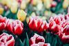 鬱金香 (aelx911) Tags: a7rii a7r2 sony gmaster fe2470mmf28gm fe2470 fe2470gm landscape nature flower plant tulip taiwan taipei bokeh 台灣 台北 鬱金香 花卉試驗中心