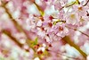 2018 Spring Bloom (hoffler_pictorials) Tags: teamsony sony ilcecameras photography landscape nature highlights annual treats selectivefocus season tasty sharp emountlenses colors shapes bokeh sonypz18105mmemountlens sonya6300 bokehlicious springtime cherryblossom outside sunshine love beautiful trees white pink flowers spring blossom
