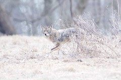 Coyote in the Brush (Kitty Kono) Tags: coyote valleyforgenationalpark kittyrileykono