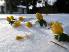 eisige Kälte... (ekeha) Tags: 180318 wind schnee winterlinge
