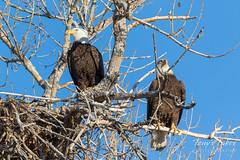 Bald Eagle pair hanging out at home