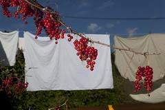 (Beathe) Tags: sando home summer morning sun garden clothesline laundry klestørk klesvask rips redcurrants flash red img6010