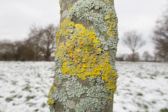 Xanthoria lichen (Daniel James Greenwood) Tags: xanthoriaparietina lichens claphamcommon lambeth london canonpowershot canonpowershotg7xmii danielgreenwood danielgreenwoodphotography