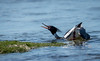 Red breasted merganser courtship display (davebennett65) Tags: bird wildlife merganser courtship display coast sea