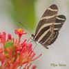 Zebra longwing on a flower (Rene Mensen) Tags: tiger longwing flower nikon nikkor rene mensen macro d5100 drenthe emmen wildlands