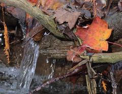 Streamside Leaf (peterkelly) Tags: digital canon 6d ontarionature caledon ontario canada northamerica willoughbynaturereserve fall autumn stream creek water mapleleaf stick dam