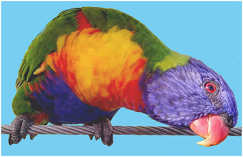 Poser Parrot by Don Cochrane -  Honorable Mention Class B Prints - March 2018