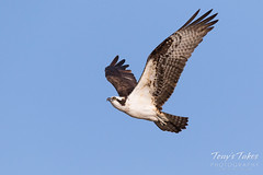 Male Osprey landing sequence - 4 of 28