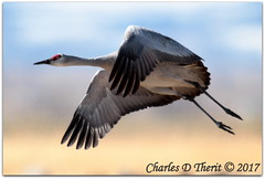Lift Off (ctofcsco) Tags: 7d canon colorado explore northamerica usa eos ef400mm f28l ii usm 20x canoneos7d ef400mmf28liiusm20x f56 800mm 12000s iso500 bird sky animal
