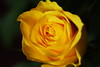 DSC_8999 (PeaTJay) Tags: nikond750 sigma reading lowerearley berkshire macro micro closeups gardens indoors nature flora fauna plants flowers bouquet rose roses rosebuds