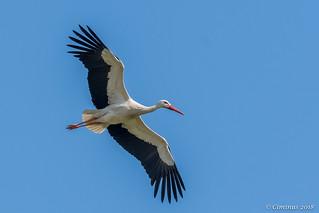 White stork in flight.