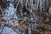 Marouette ponctuée - Porzana porzana - Spotted crake (patricia.hoedts) Tags: espagne catalogne catalunya aiguamollsdelemporda marouetteponctuée porzanaporzana spottedcrake oiseau bird ocell canon canon6d sigma sigma150600contemporary