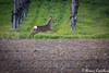 Trotto o Galoppo? (Castello foto) Tags: roe deer capriolo tramonto wildlife wildfotography primavera palco corsa terra erba verde