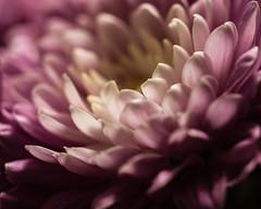 P3260222 (NorthernJoe) Tags: flower foliage flora macro close up nature plant petals stamen olympus micro four thirds 60mm omd em1
