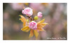 SHF_5445_Cherry blossom (Tuan Râu) Tags: 1dmarkiii 14mm 100mm 135mm 1d 1dx 2470mm 2018 50mm 70200mm canon canon1d canoneos1dmarkiii canoneos1dx cherryblossoms hoaanhđào flowers dof bokeh hoa nhậtbản hanoi tuanrau tuan tuấnrâu2018 râu httpswwwfacebookcomrautuan71