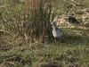 Kemphaan / Philomachus pugnax (m.ritmeester) Tags: ngc naturelovers natuur nederland nijkerk groen gelderland wit kemphaan bruin oranje