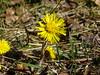 """Huflattich (Tussilago farfara) (warata) Tags: 2018 deutschland germany süddeutschland southerngermany schwaben swabia oberschwaben """"upper swabiaschwäbisches oberland """"badenwürttemberg"""" huflattich """"tussilago farfara"""" wildpflanze wildblume blume flower floer"""