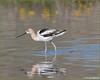 American Avocet 0232 (maguire33@verizon.net) Tags: americanavocet avocet bird goldfields wetlands wildflowers wildlife