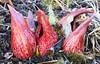 skunk cabbage in Winneshiek County Iowa 854A6583 (lreis_naturalist) Tags: skunk cabbage plants wildflowers spathes full bloom winneshiek county iowa larry reis